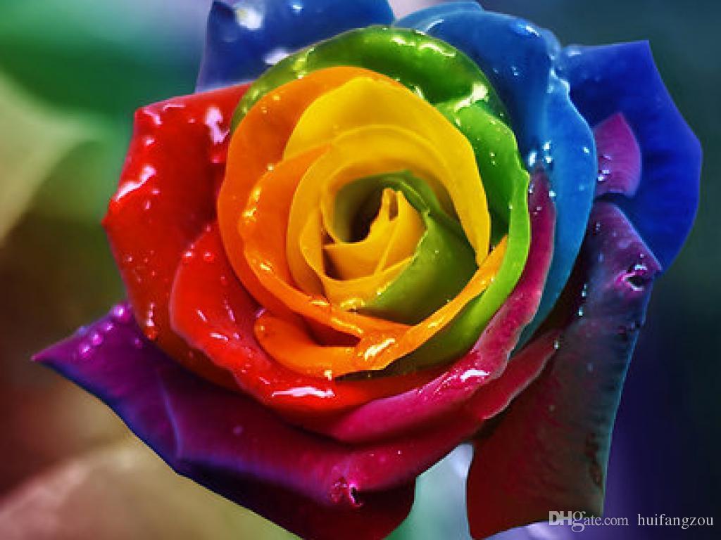 vente-chaude-7-couleur-belle-rose-graine