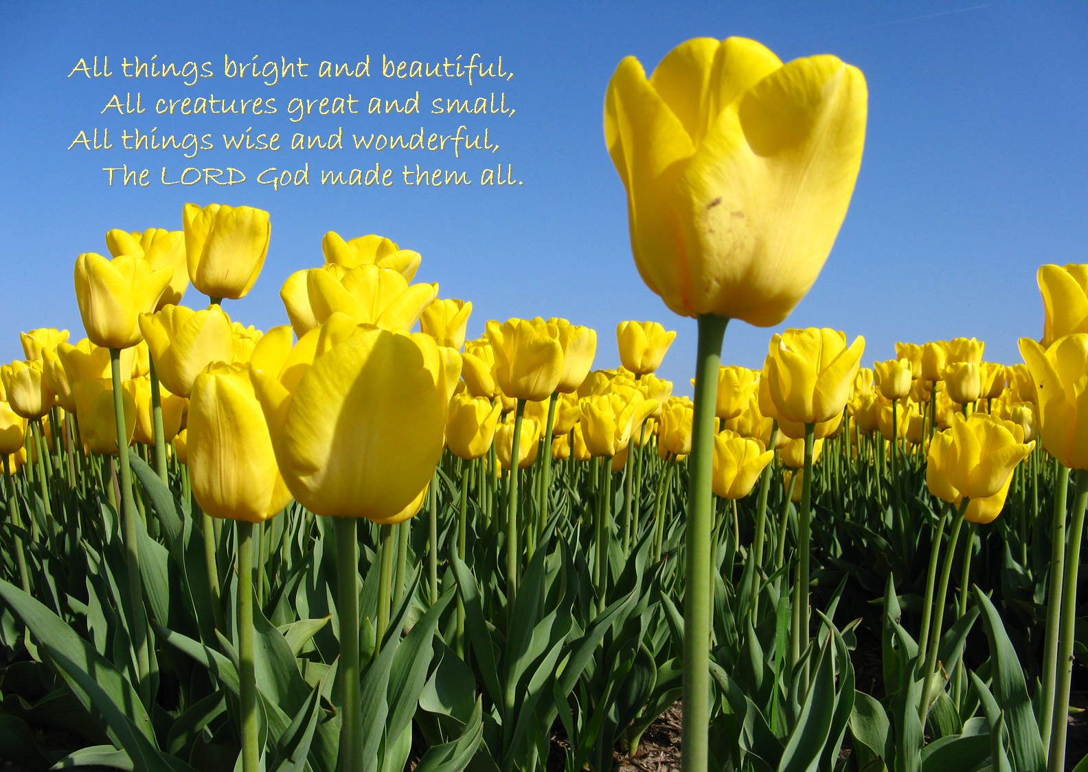 04 April - Yellow tulips (All things bright).png