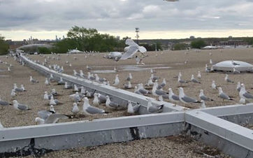 gull-nest-management-chicagoland.JPG