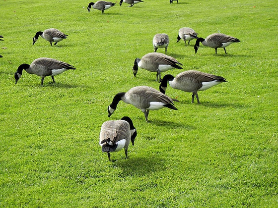 goose control chemical deterrent chicago