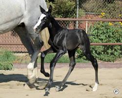 Baby Zaphora