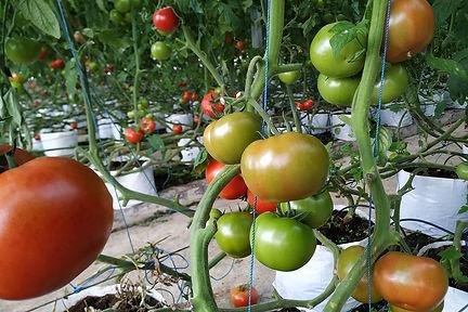 tomat hidroponik di green house