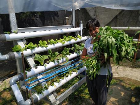Kangkung Hidroponik Cepat Panen (hanya 17 hari)