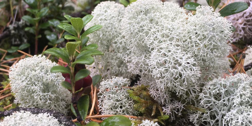 S Törnskogen, Sollentuna: första advent med naturen