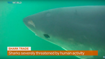 Money Talks: Shark-diving ecotourism want fin trade stopped
