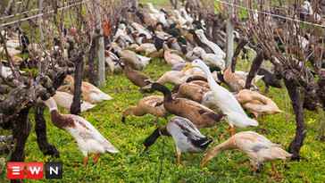 Over 1000 ducks waddle to work on Cape wine farm