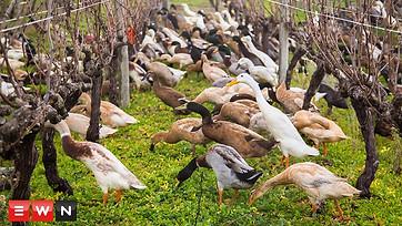 Watch 1000 ducks waddle to work on wine farm