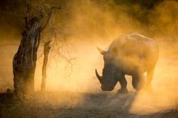 Sabi Sand rhino at sunset.