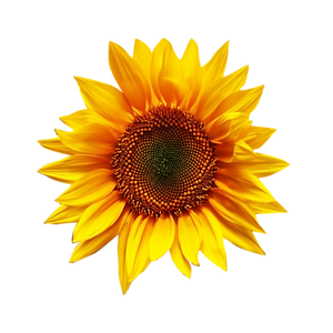 beautiful-sunflower-material-design-png_