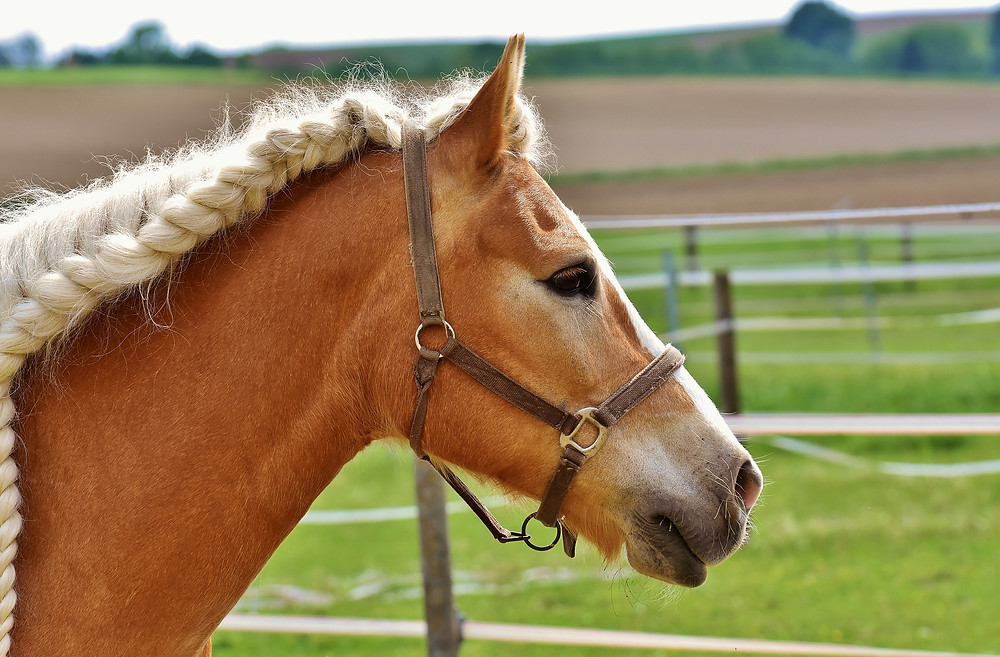 A caramel-colored horse with a braided mane.