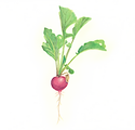 A watercolor painting of a radish