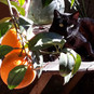 One of my cats, one of my orange trees