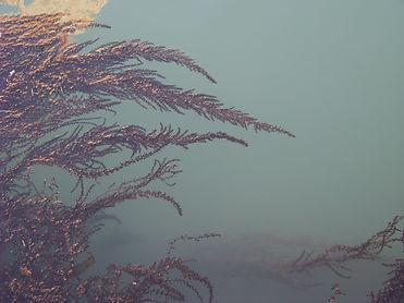 Algae - Venice.JPG