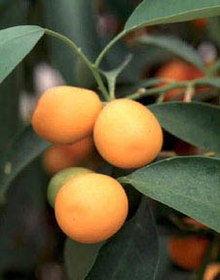 220px-Kumquat.jpeg