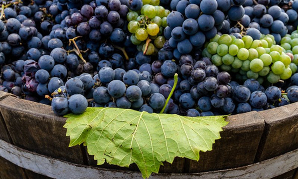 White grapes in red winemaking