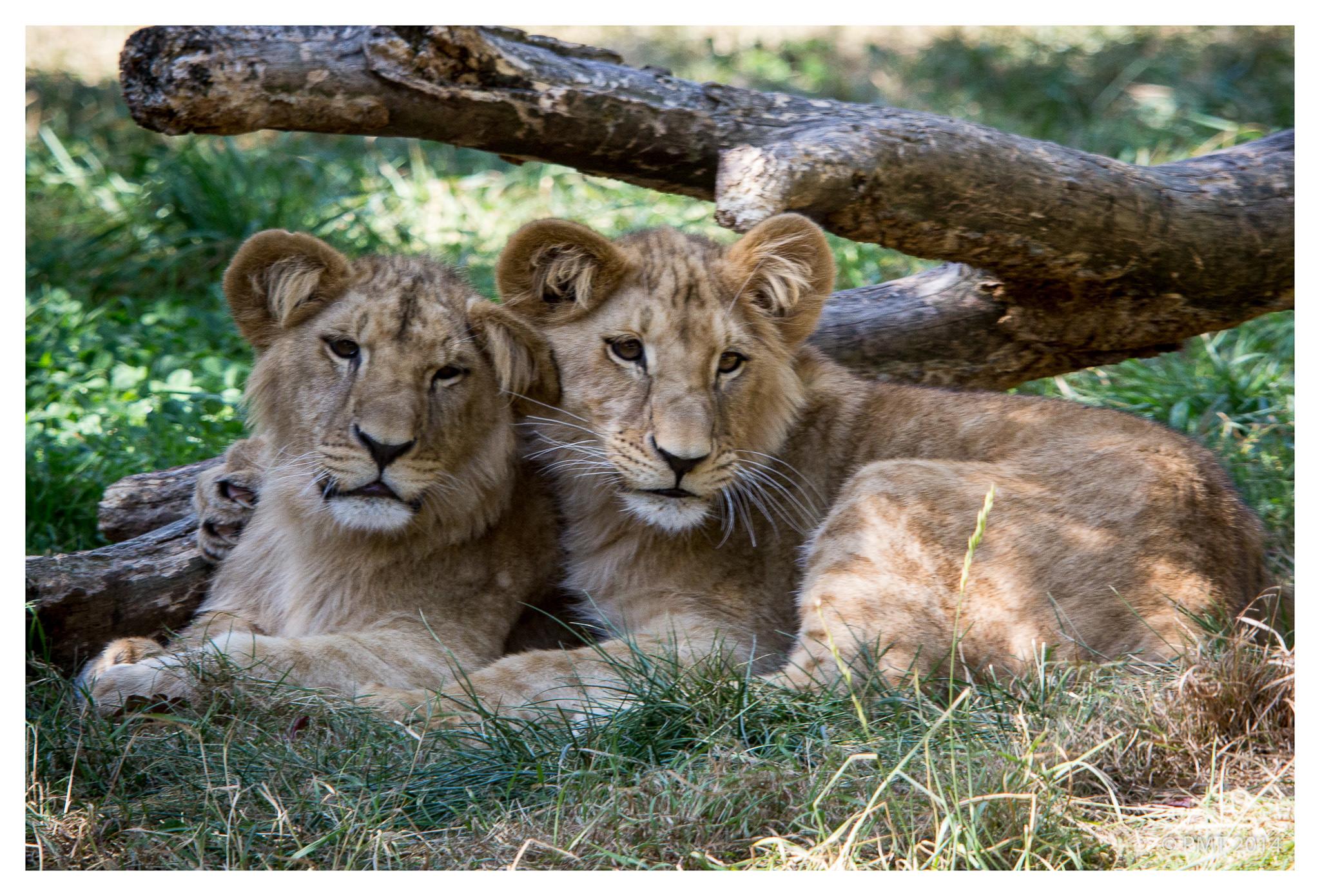 Lionceaux mignons du Natur'Zoo