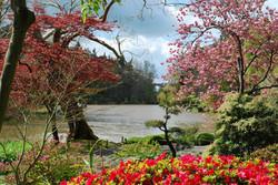 Cerisier fleuriau parc de Maulévrier