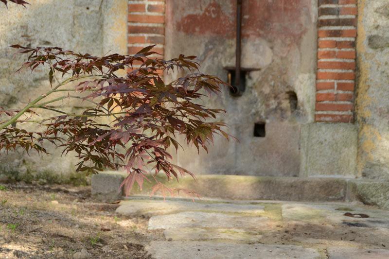 Érable japonais devant la fontaine