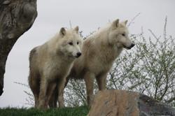 Loups blancs au Natur'Zoo de Mervent