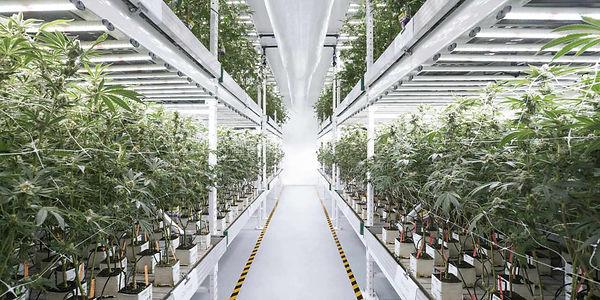 cannabis-factory.jpg