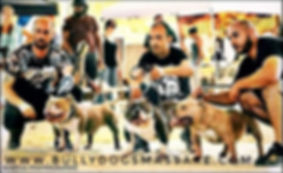 concours bully dogs massare