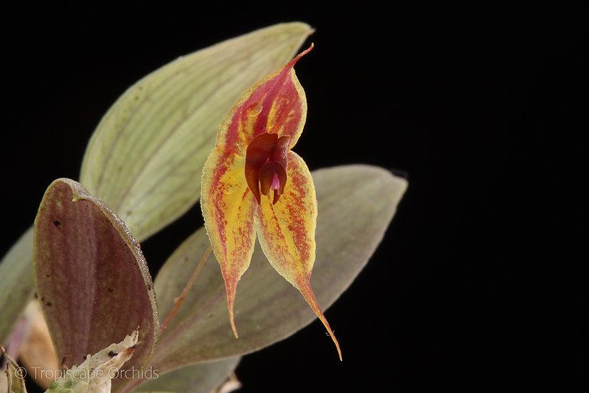 Lepanthes dodsonii x helgae