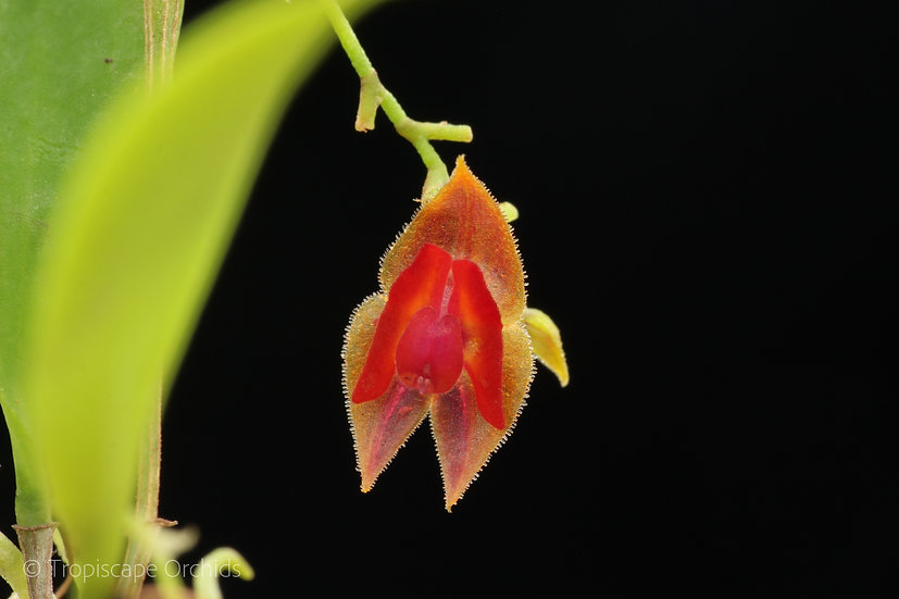 Lepanthes caritensis