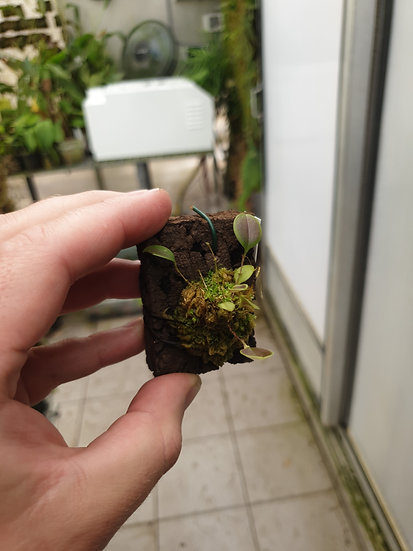 Lepanthes martinae
