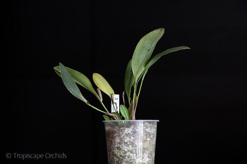 Pleurothallis tuerckheimii