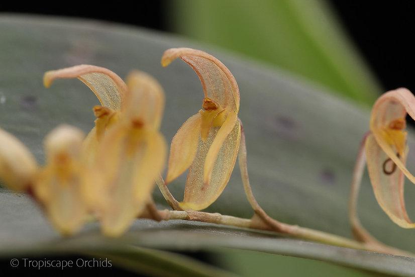 Pleurothallis rowleei