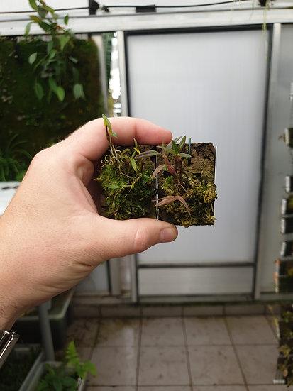 Dendrobium sulphureum