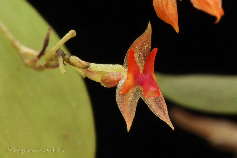 Lepanthes myiophora x mariposa