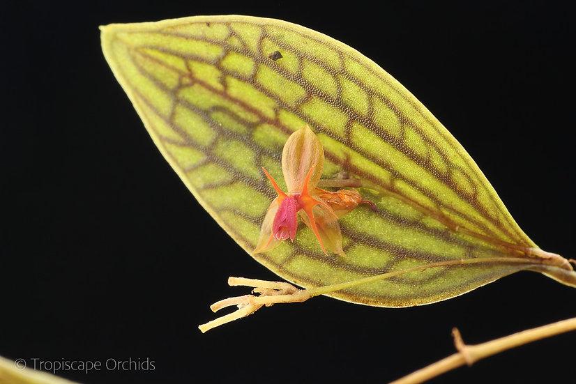 Lepanthes calodictyon var. xanthina x hexapus