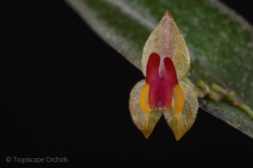 Lepanthes regularis
