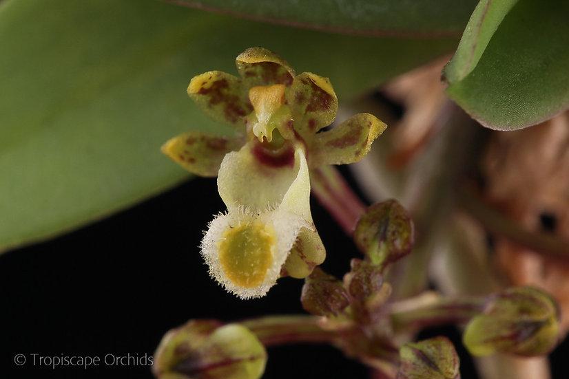 Gastrochilus platycalcaratus