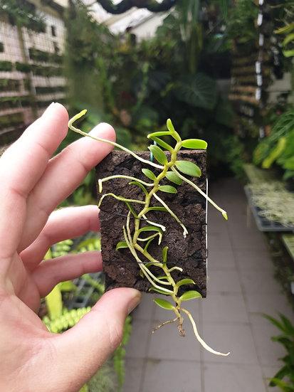 Oeonia volucris
