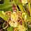Thumbnail: Odontoglossum hallii