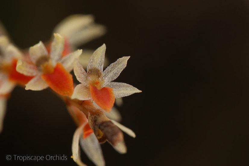 Dendrochilum apoense