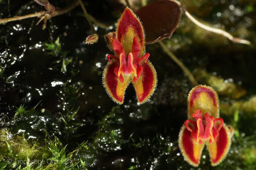 Lepanthes sp. mini Red