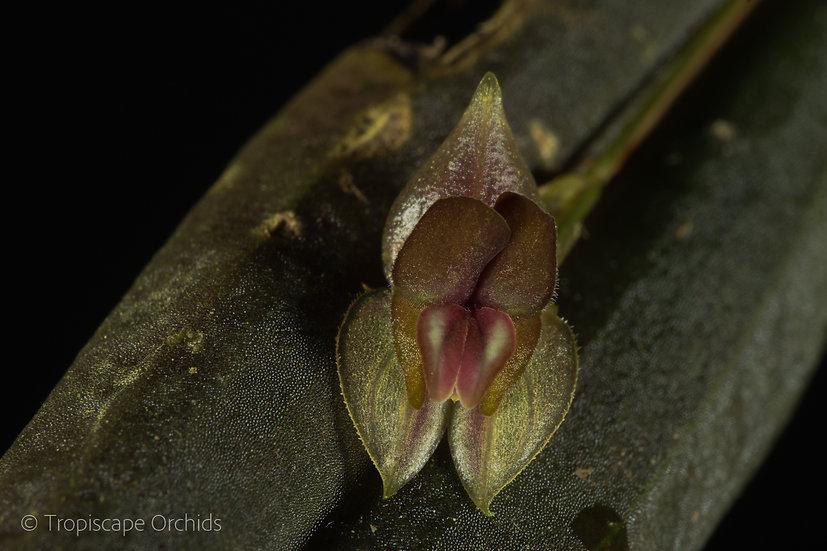 Lepanthes hymenoptera