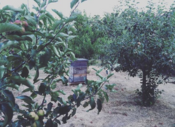 bees hive in the orchard