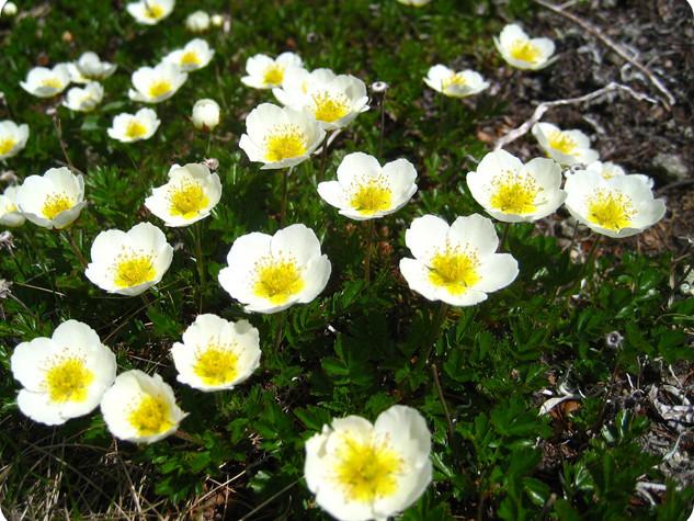 チングルマ(開花)
