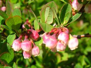 クロマメノキ(開花)