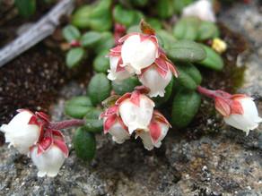 コメバツガザクラ(開花)