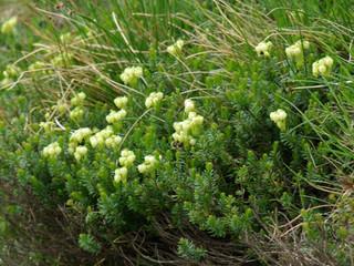アオノツガザクラ(開花)