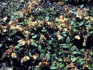 キバナシャクナゲの花の凍害