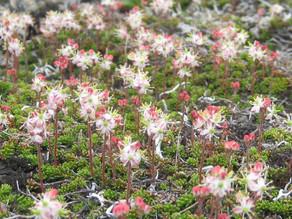 チシマツガザクラ(開花)