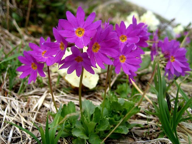 エゾコザクラ(開花)