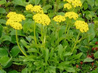 タカネオミナエシ(開花)