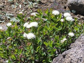 エゾノマルバシモツケ(開花)